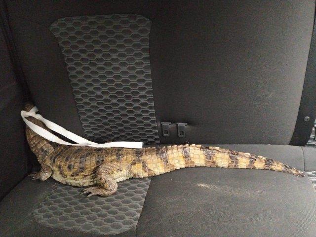 Крокодил в машине Жителя Волгоградской области