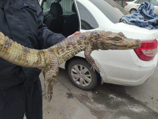 Крокодил в руках полицейских Волгоградской области