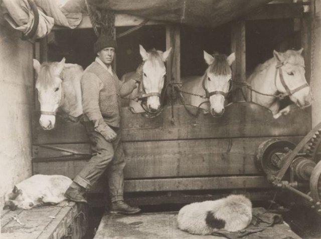 "Участник антарктической экспедиции Роберта Скотта Лоуренс Отс в конюшне корабля ""Терра Нова"", 1911 год, Антарктида"