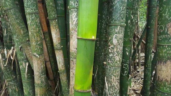 Вот таким вырастет бамбук без туристов