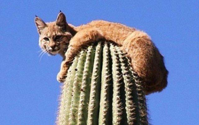 Дикая кошка на кактусе