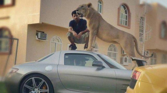 Лев на крыше автомобиля