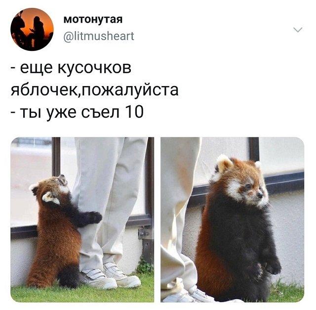 твит про красную панду