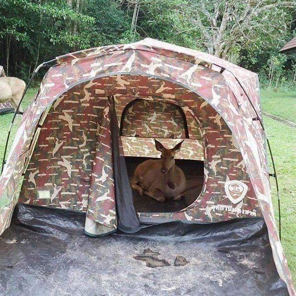 Олень в палатке