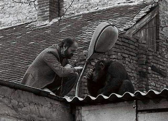 Директор Белградского зоопарка уговаривает сбежавшего шимпанзе