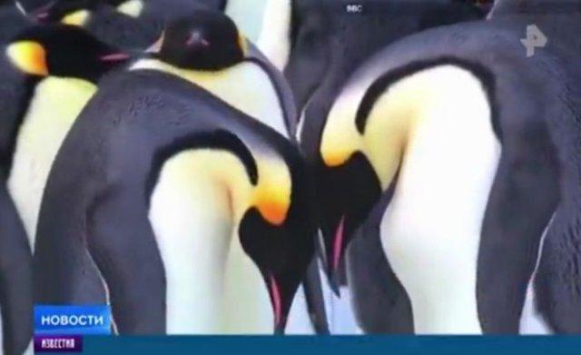 """""""Скандал"""" на телевидении: однополая пара самцов пингвинов украла яйцо у однополой пары самок"""