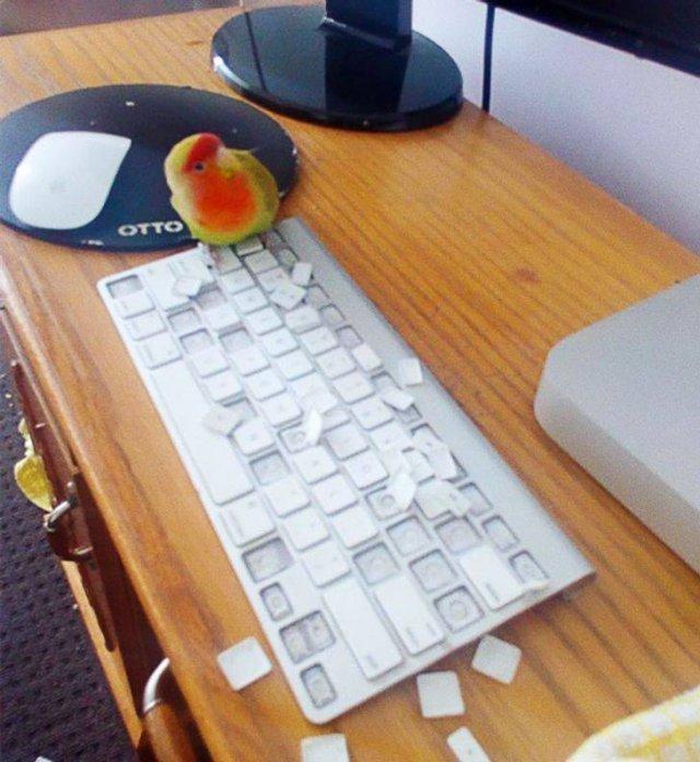 Попугай и клавиатура