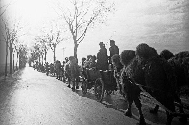 Советский верблюжий обоз на подступах к Берлину. Германия, март 1945 года.