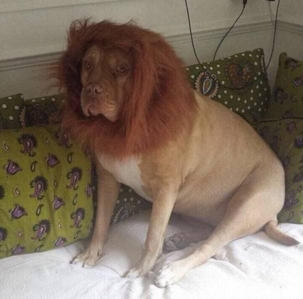 Собака-лев