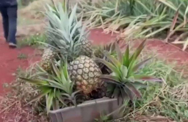 """Раскрыта """"страшная тайна"""" ананасов"""