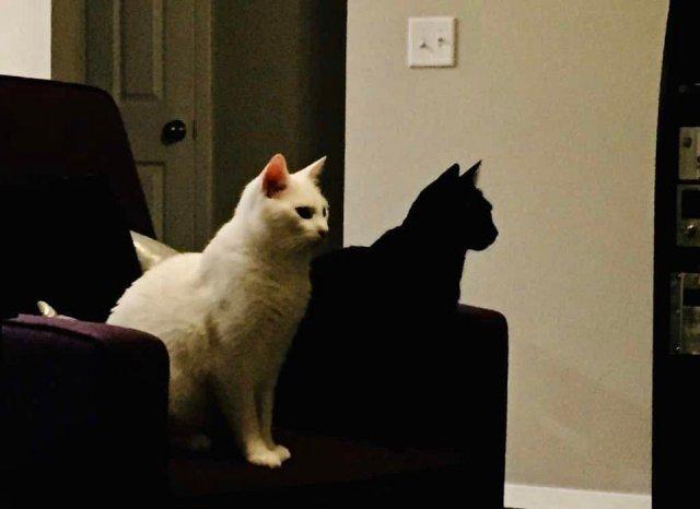 Черная кошка - это тень от белой