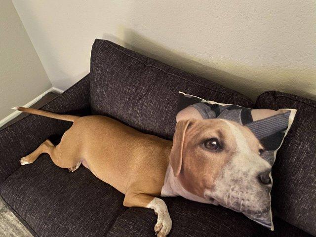Мой пес любит прятаться под подушкой