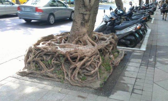 Квадратные корни дерева