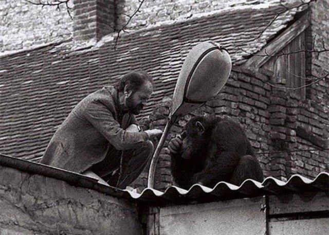 """Начальник Белградского зоопарка уговаривает сбежавшего шимпанзе по кличке """"Сами"""" вернуться обратно в зоопарк. Фото 1988 года."""