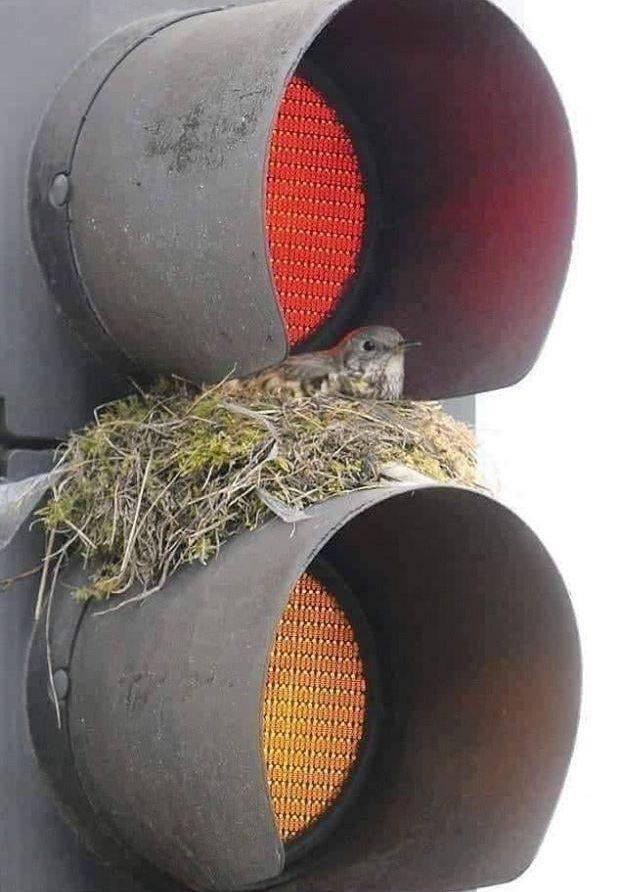 Гнездо птицы на светофоре