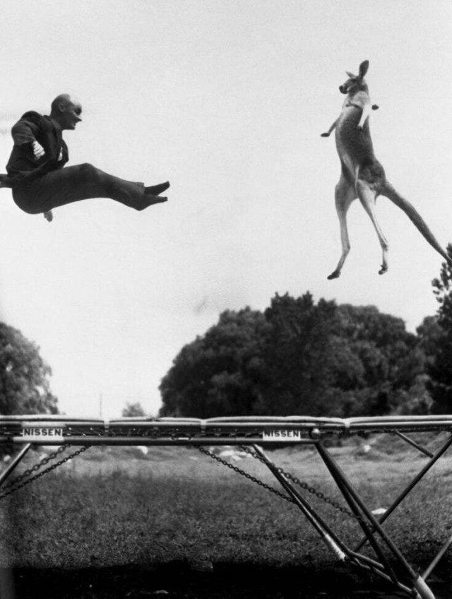 Изобретатель батута Джордж Ниссен, прыгает на своём детище с кенгуру. США, 1960 год.