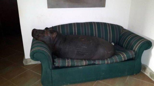 Бегемот на диване