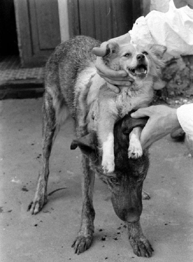 Первая двухголовая собака Владимира Демихова