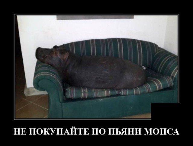 Демотиватор про мопса