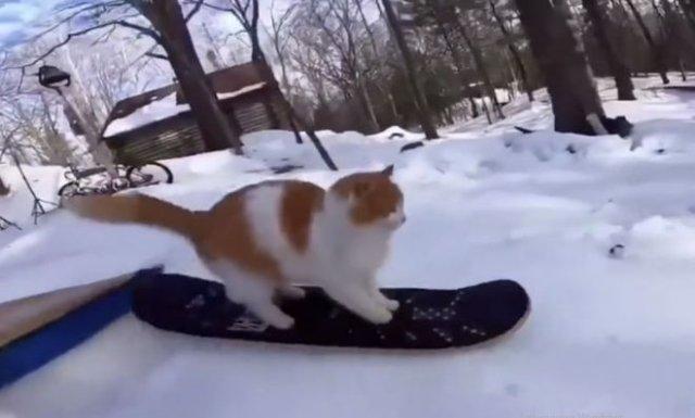 Талантливый кот, катающийся на сноуборде