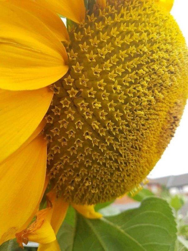 Подсолнухи состоят из сотен мелких цветков с почти идеальной симметрией