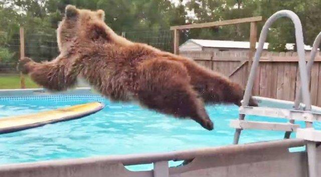 Медведь прыгает в бассейн