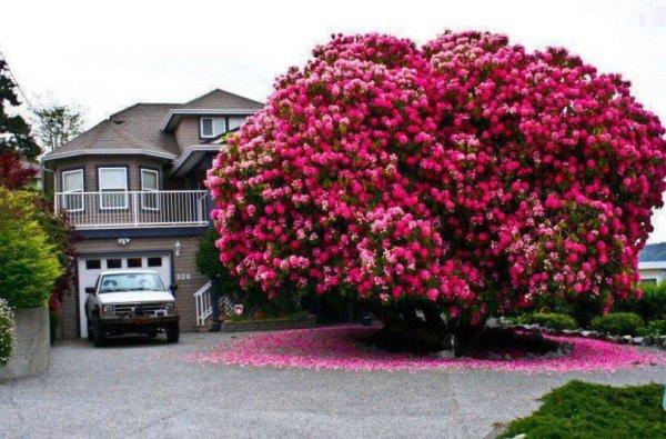 Рододендрон размером с дом, рядом с которым он растёт