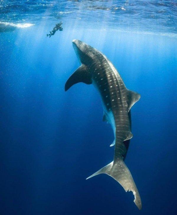 Громадная китовая акула