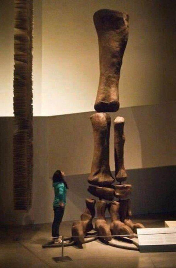 Размер ноги аргентинозавра