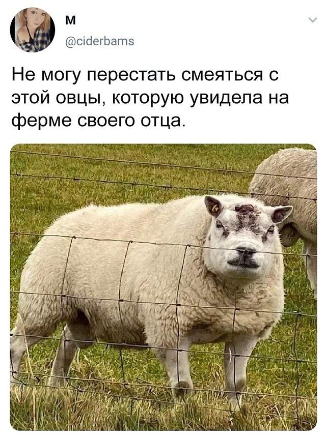 твит про овцу