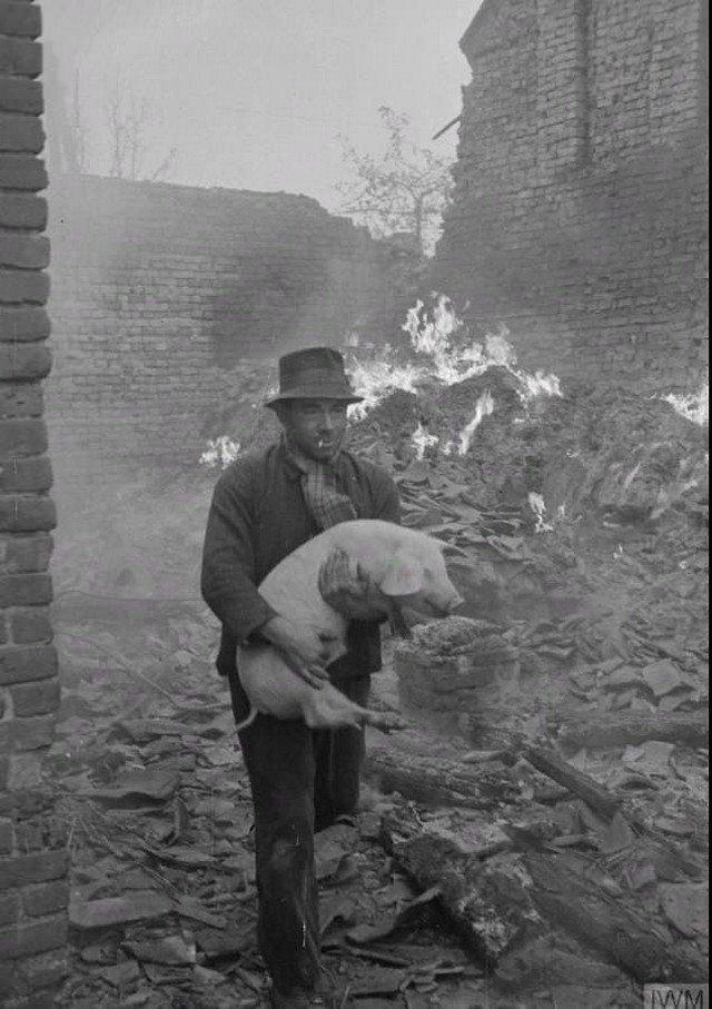 Голландец спасает свинью во время боев в районе Маас, январь 1945 года.