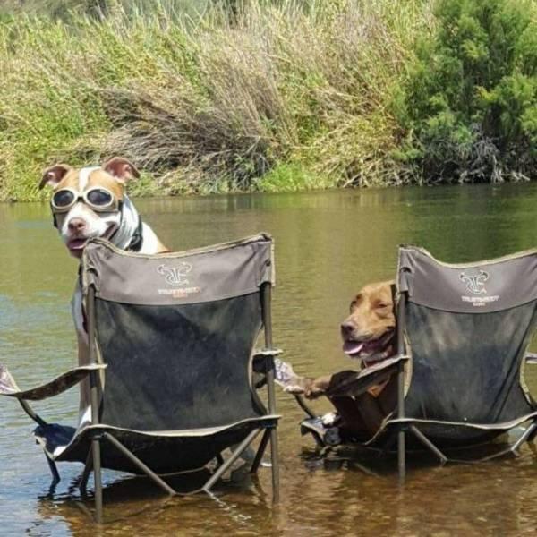 Собаки сидят на креслах