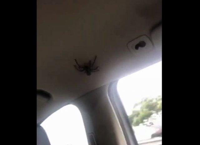 """Очень """"веселая"""" и громкая поездка девушек на машине в компании большого паука"""