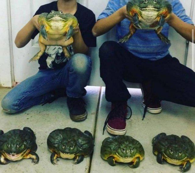 Огромные жабы