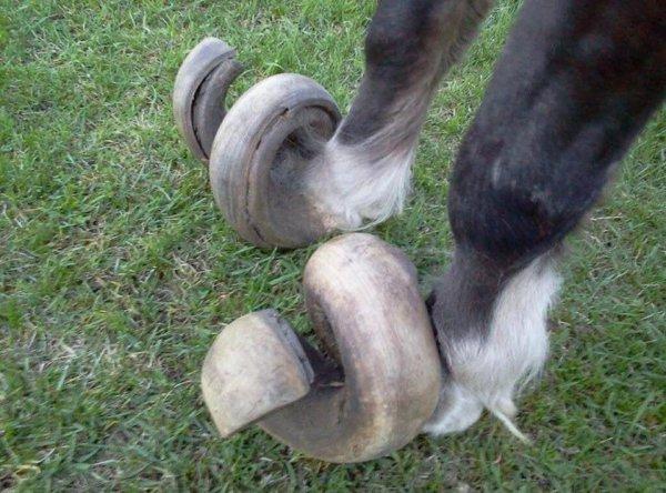 Что будет, если не обрезать копыта лошади