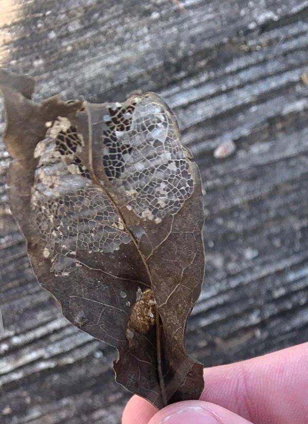Вот что происходит с листочком после того, как до него добралась гусеница