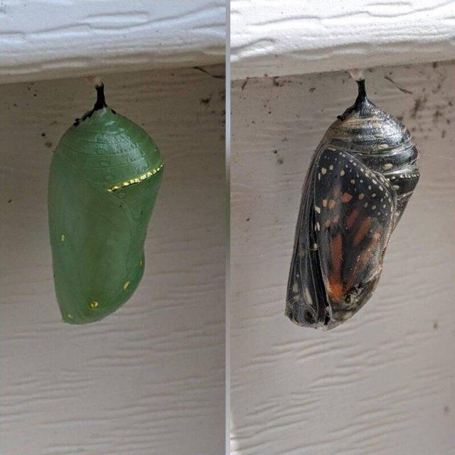 Кокон бабочки Монарх