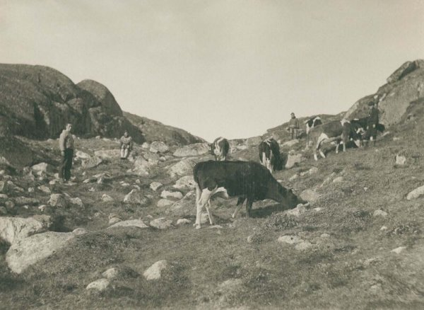 Коровы возле города Какорток. 1889 г.
