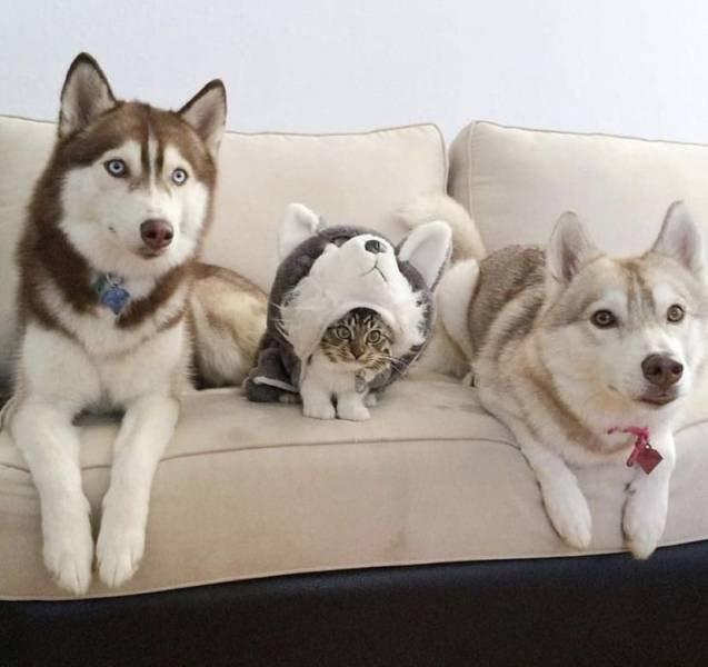 Хаски и кот