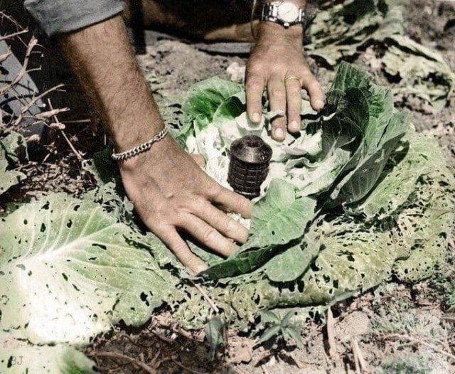 Мина, замаскированная под кочан капусты в Окинаве, 1945 год.