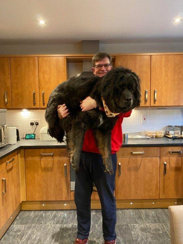 10-месячный щенок мастифа и мужчина ростов 195 см