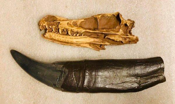 Череп велоцираптора в сравнении с зубом тираннозавра