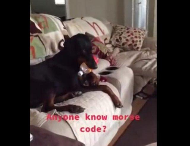 Собака использует азбуку Морзе?
