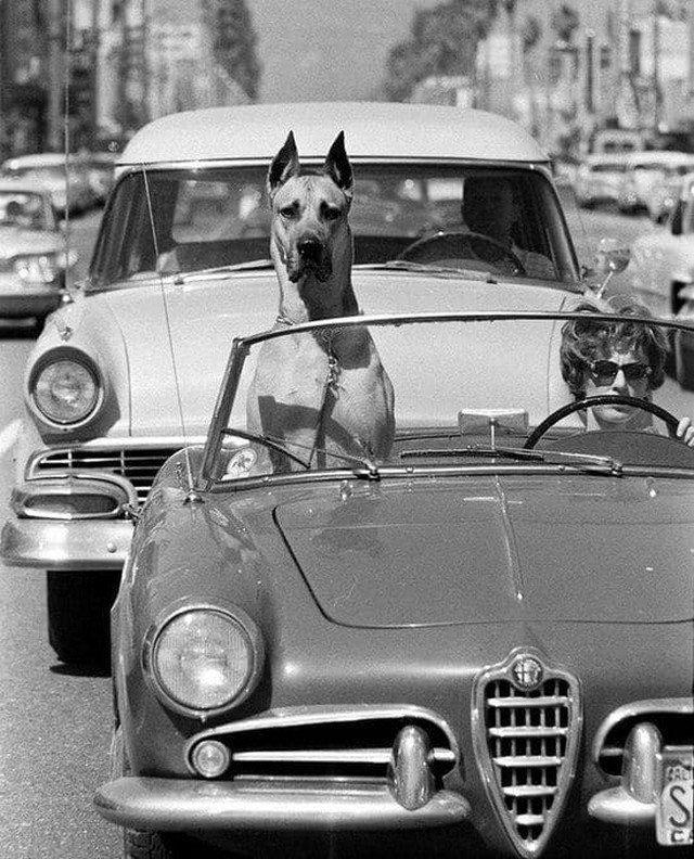 Датский дог рассекает по Голливуду, Калифорния, 1961 год.
