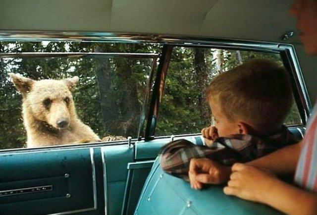 Национальный парк Йеллоустоун, в котором обитает немало редких видов животных, 1966 год.
