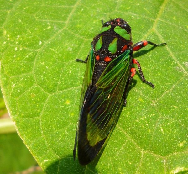 Цикады могут до 17 лет оставаться личинками и жить под землей, прежде чем превратятся во взрослых особей