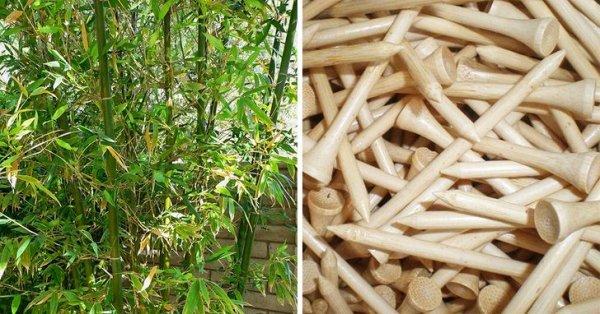 Бамбук цветет раз в несколько десятилетий, а затем погибает