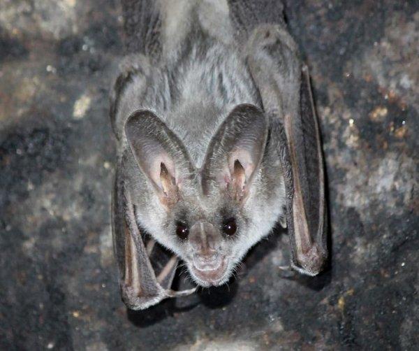Вопреки мифу, летучие мыши вовсе не слепые. Наоборот, зрение у них острее человеческого. Просто они предпочитают эхолокацию