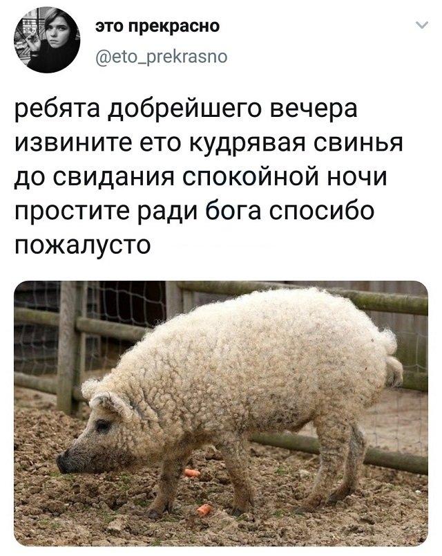 твит про свинью