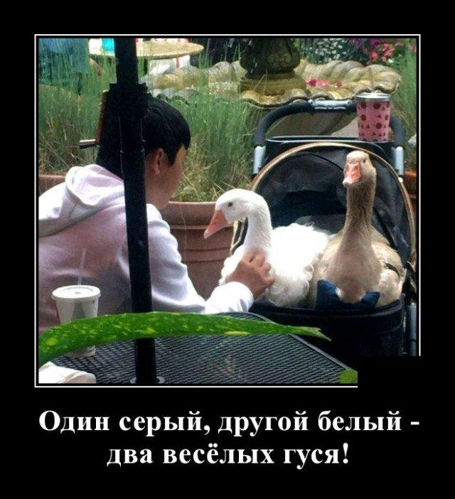 Демотиватор про гусей
